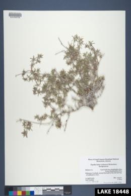 Tiquilia latior image
