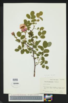 Rosa woodsii var. woodsii image