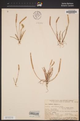 Plantago coronopus image