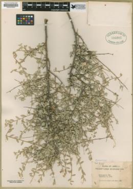 Crossosoma bigelovii image