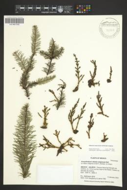 Arceuthobium abietis-religiosae image