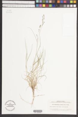 Image of Muhlenbergia plumbea