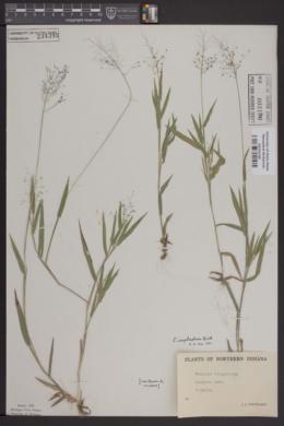 Image of Panicum tsugetorum