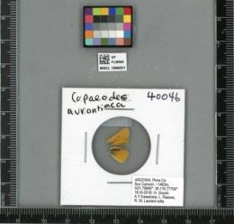 Copaeodes aurantiaca image