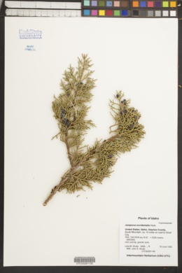 Juniperus occidentalis image