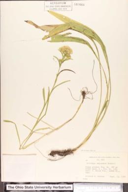 Solidago ohioensis image