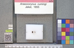 Araecerus cumingi image