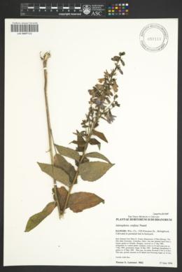 Adenophora stricta image