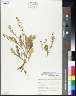 Rorippa palustris subsp. hispida image