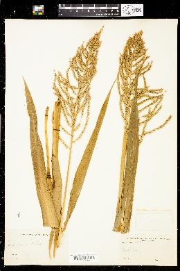 Image of Panicum palmeri
