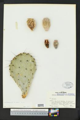 Opuntia phaeacantha image