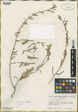 Image of Camissoniopsis luciae