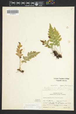 Polypodium hesperium image