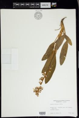 Lupinus villosus image