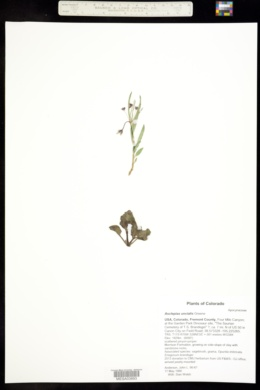 Asclepias uncialis image