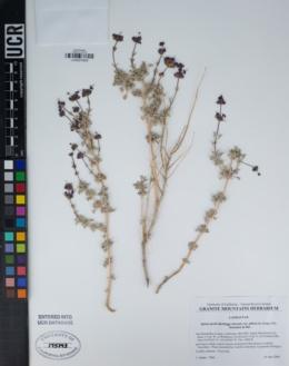 Salvia dorrii image