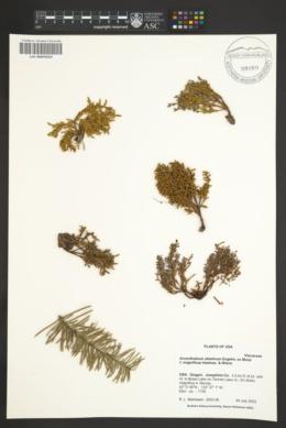 Arceuthobium abietinum image