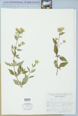 Stevia ovata image