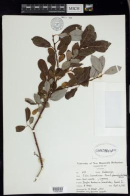 Image of Salix x laurentiana