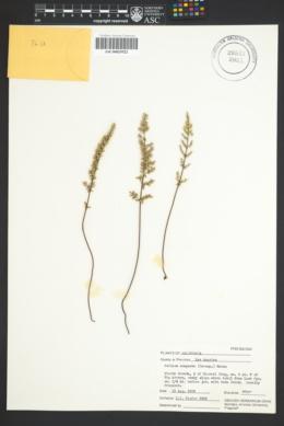 Image of Pellaea compacta