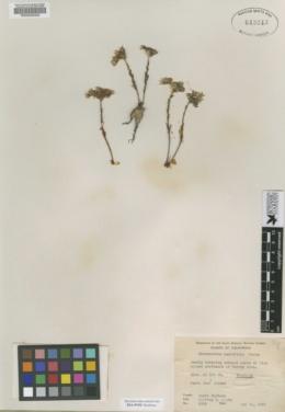 Image of Hasseanthus nesioticus