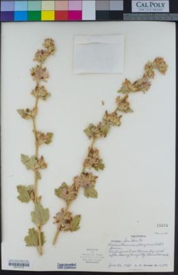 Malacothamnus aboriginum image