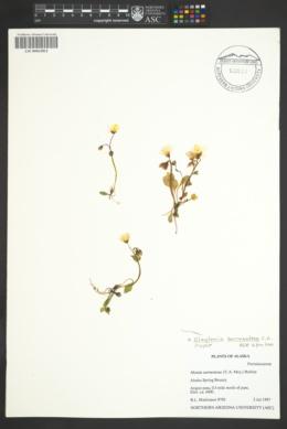 Image of Claytonia sarmentosa