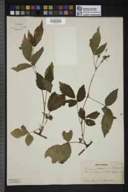 Rubus arizonicus image