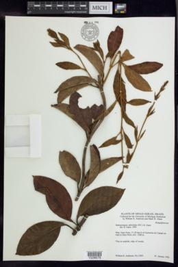 Image of Banisteriopsis salicifolia
