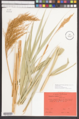 Phragmites australis subsp. americanus image