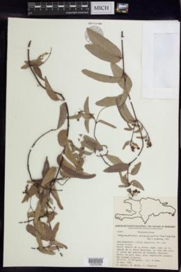 Stigmaphyllon emarginatum image