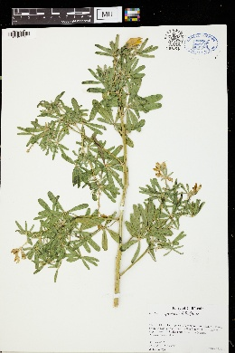 Image of Lupinus apertus