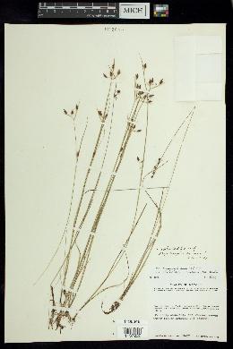 Image of Rhynchospora eximia