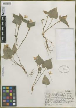 Viola californica image