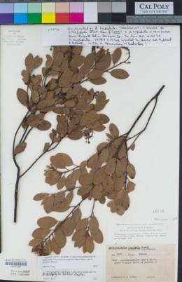 Arctostaphylos bakeri image