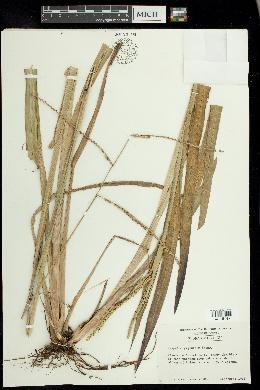 Image of Paspalum giganteum
