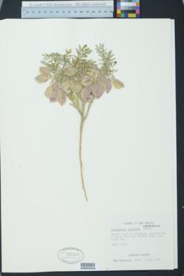 Astragalus allochrous var. playanus image