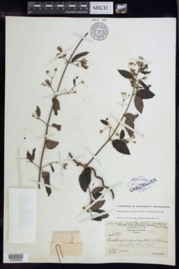 Image of Banisteriopsis pauciflora