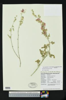 Sphaeralcea polychroma image