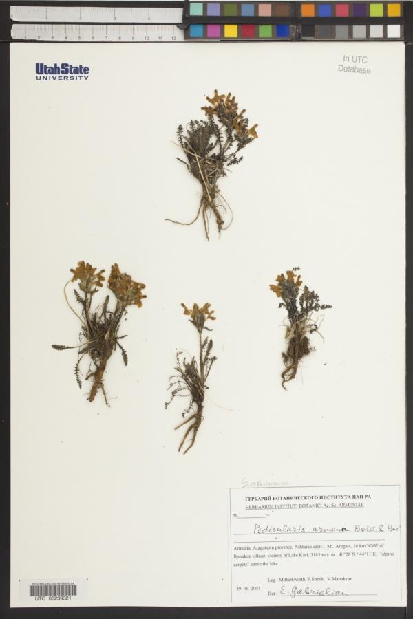 Pedicularis armena image