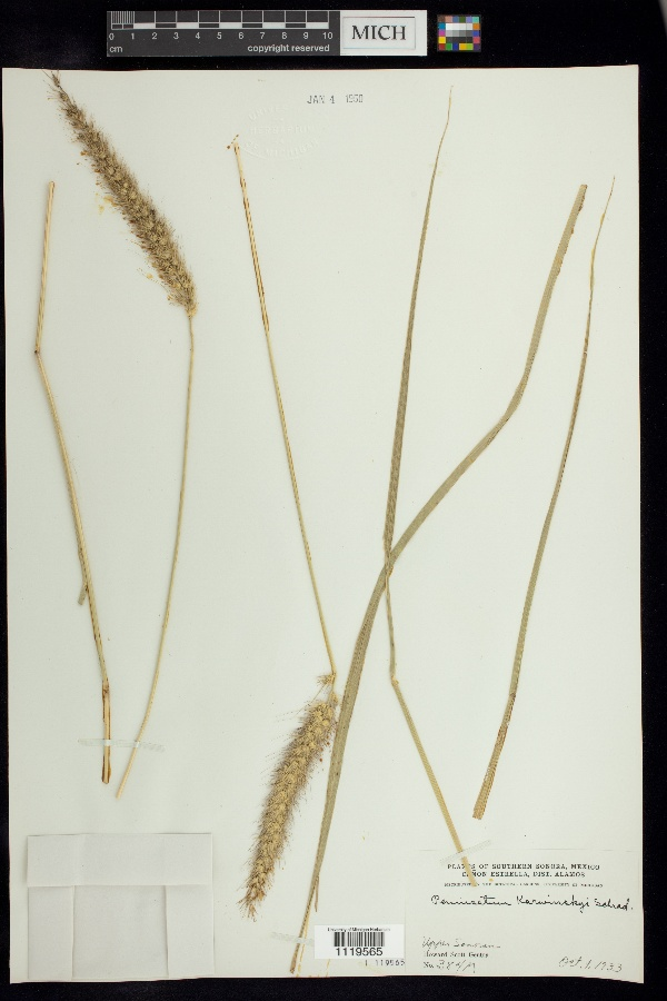 Cenchrus multiflorus image