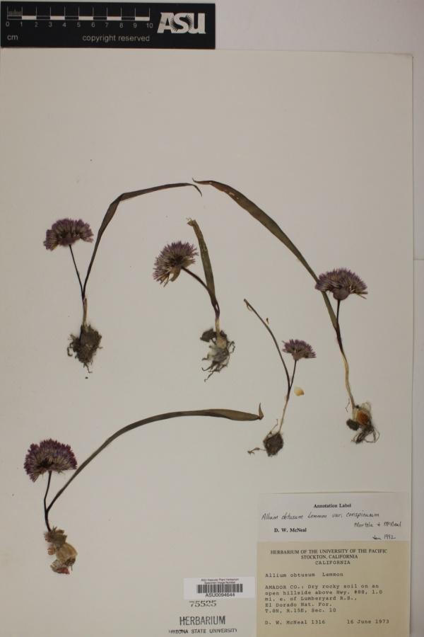 Allium obtusum var. conspicuum image