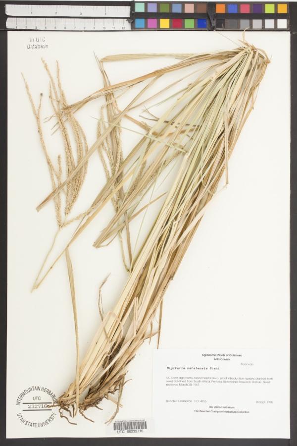 Digitaria natalensis image