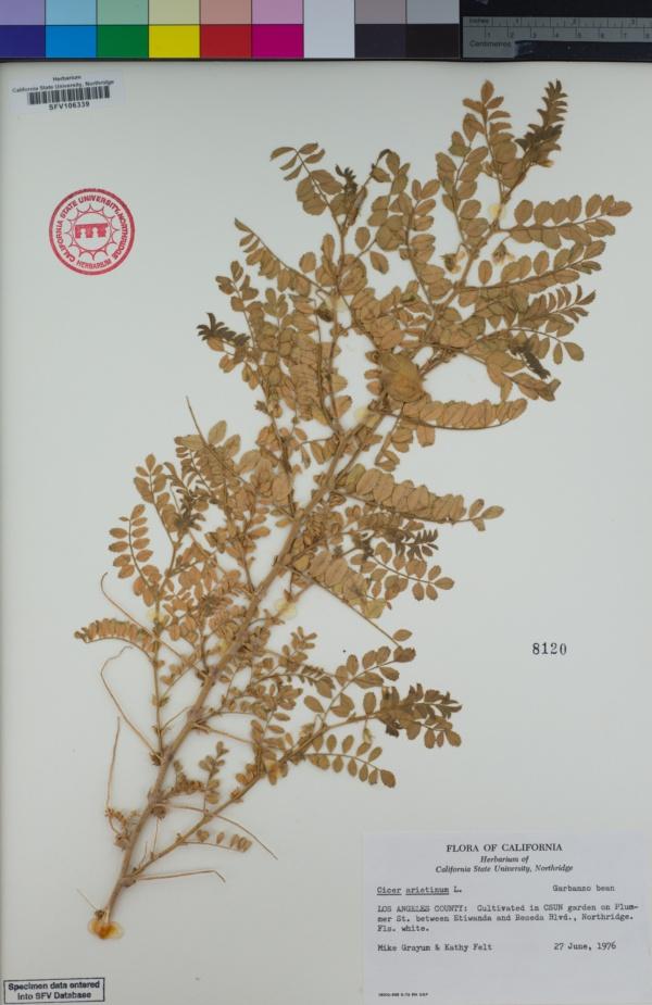 Cicer arietinum image