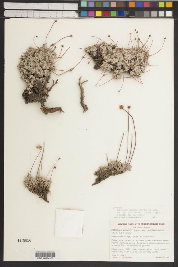 Eriogonum kennedyi var. pinicola image