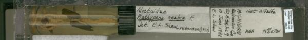 Plathypena scabra image