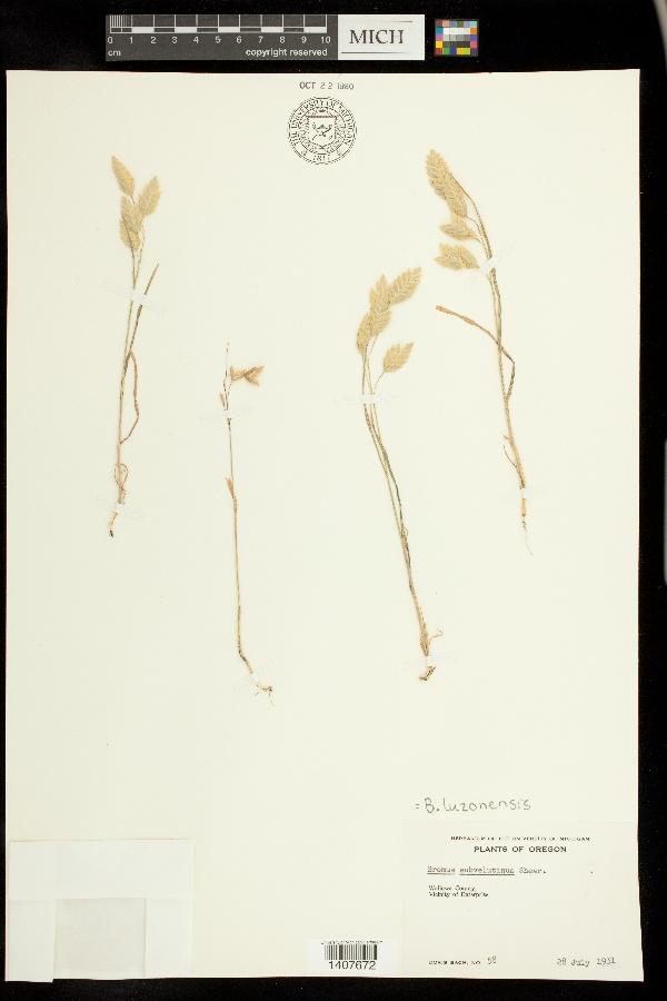 Bromus luzonensis image