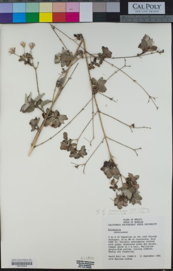 Brickellia hebecarpa image