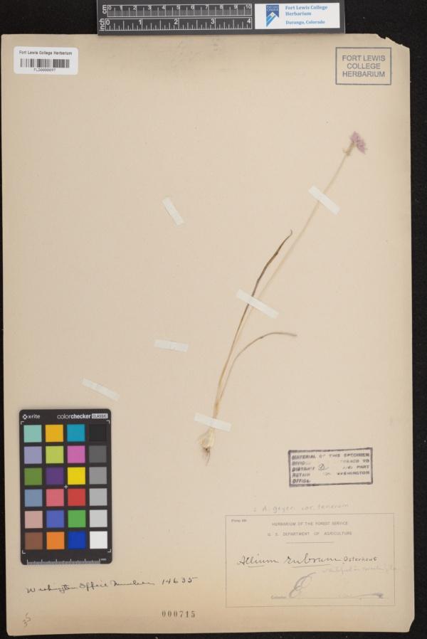 Allium geyeri var. tenerum image