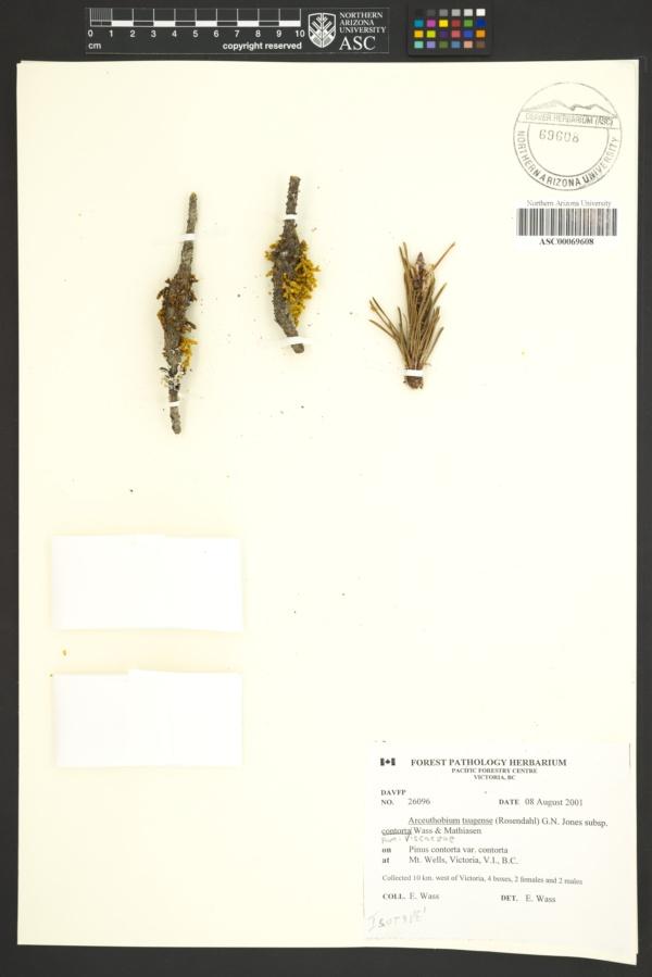 Arceuthobium tsugense subsp. contortae image